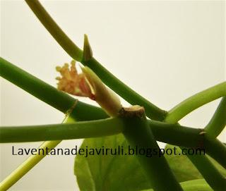 brotes-begonia-lucerna