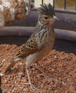 Burung branjangan merupakan burung terpaporit dengan kata lain istimewa diantara burung Rajajangkrik-Perlu Anda Tahu 2020, Tips Sukses Penangkaran Burung Branjangan