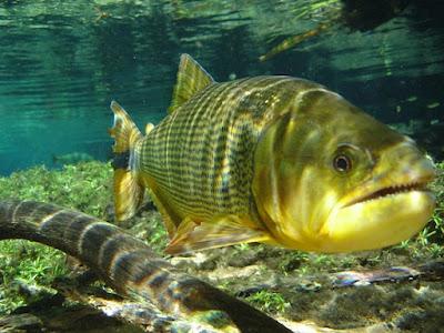 Makanan ikan golden dorado