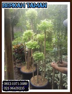 POHON BONSAI ANTING PUTRI ( Acalypha Australis Linn )