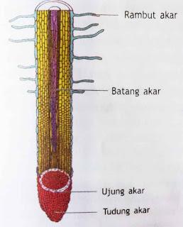 Struktur Akar Tumbuhan dan Fungsi Akar Pada Tumbuhan
