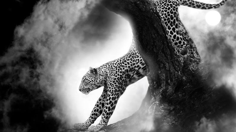 Leopard under the Moon HD