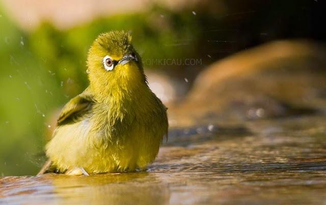 Taukah anda jika burung pleci itu suka mandi air dingin
