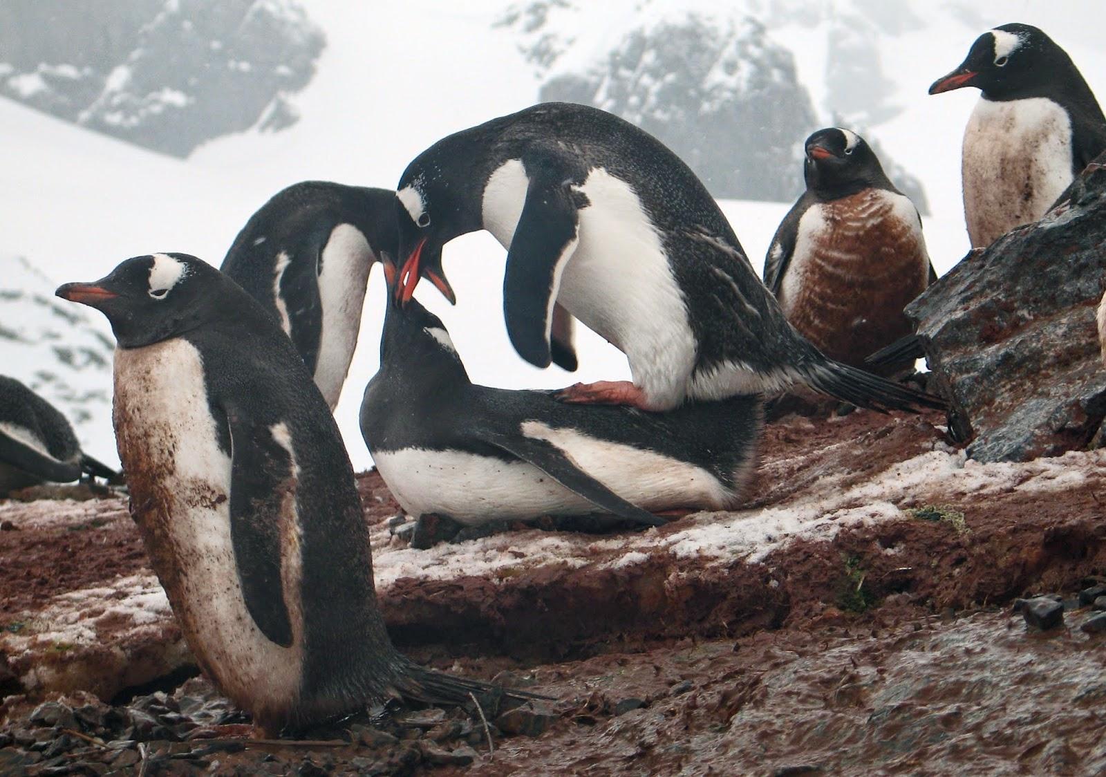 Manchot papou antarctique