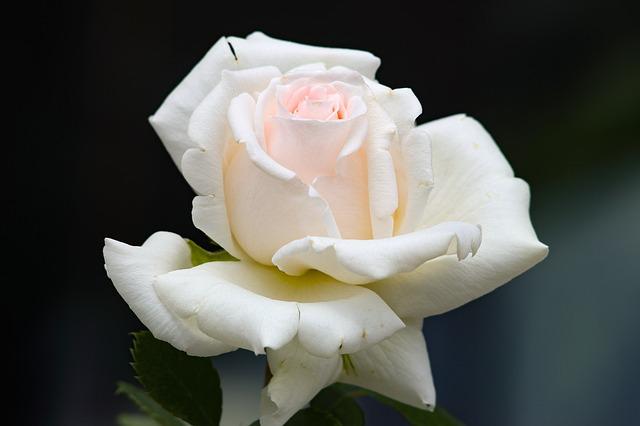 hoa hồng trắng đẹp nhất 2