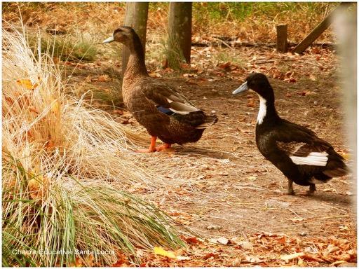 Patos domésticos criados en el corral de las gallinas  - Chacra Educativa Santa Lucía
