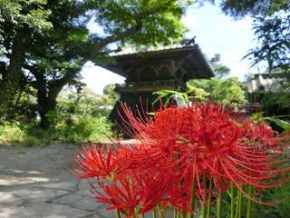 英勝寺のヒガンバナ