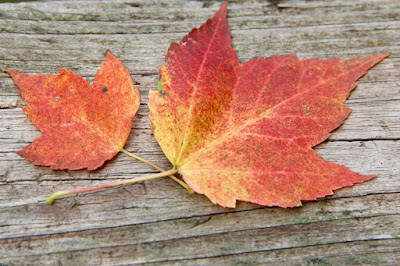 early Autumn, maple leaves