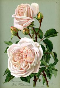 Souvenir de la Malmaison, Burbon Rose, ill. Herman Friese