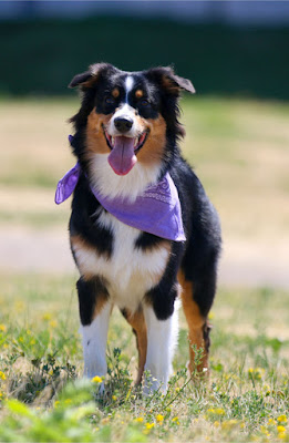 Why debunking erroneous information about dog training can backfire, and the best ways to get the message about reward-based training across. Photo shows Australian shepherd with violet bandana