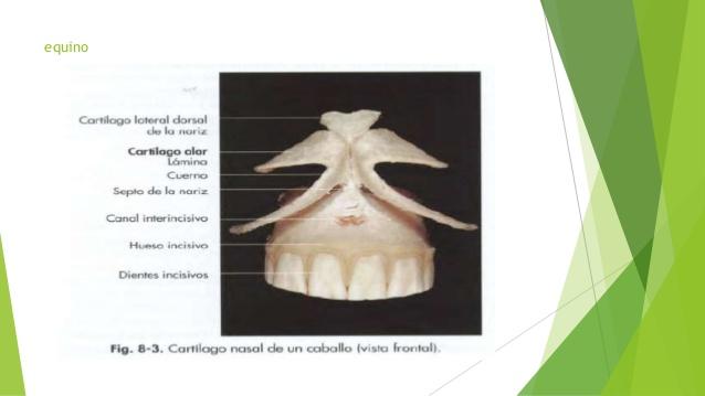 Casi Veterinaria: Anatomía II - Nariz Externa y Ollares
