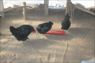 Sand in the chicken run keeps bacteria levels lower than any other litter choice.