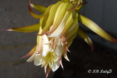 Dragon Fruit Blossom