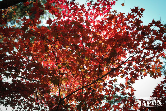 Momiji rouges, Miyajima, Hiroshima-ken