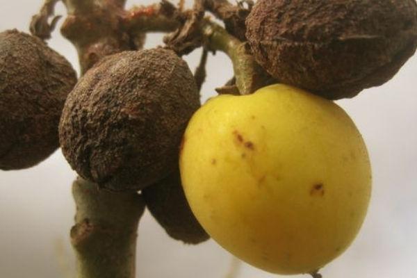 Jatropha curcas sus frutas se producen en invierno, cuando el arbusto está sin hojas