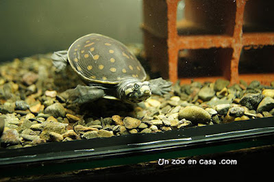 Lissemys punctata - Indian flapshell turtle