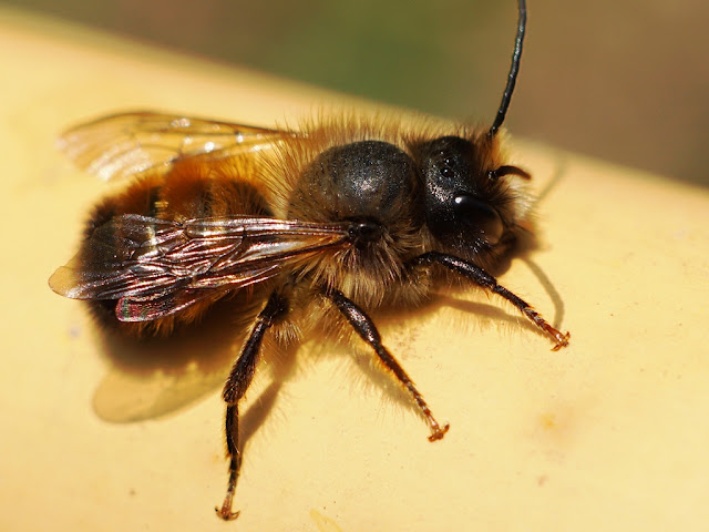 Osmia bicornis male