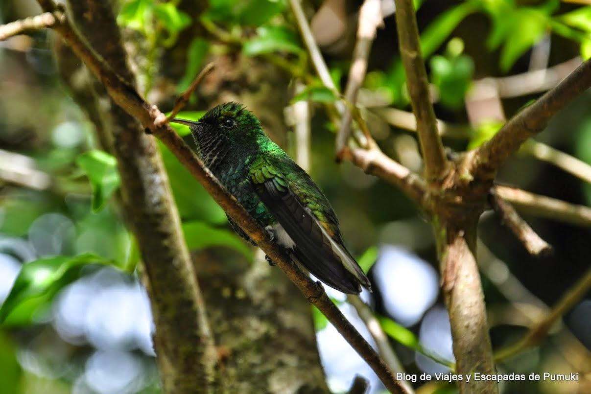 Colibri verde en Monteverde, Costa Rica