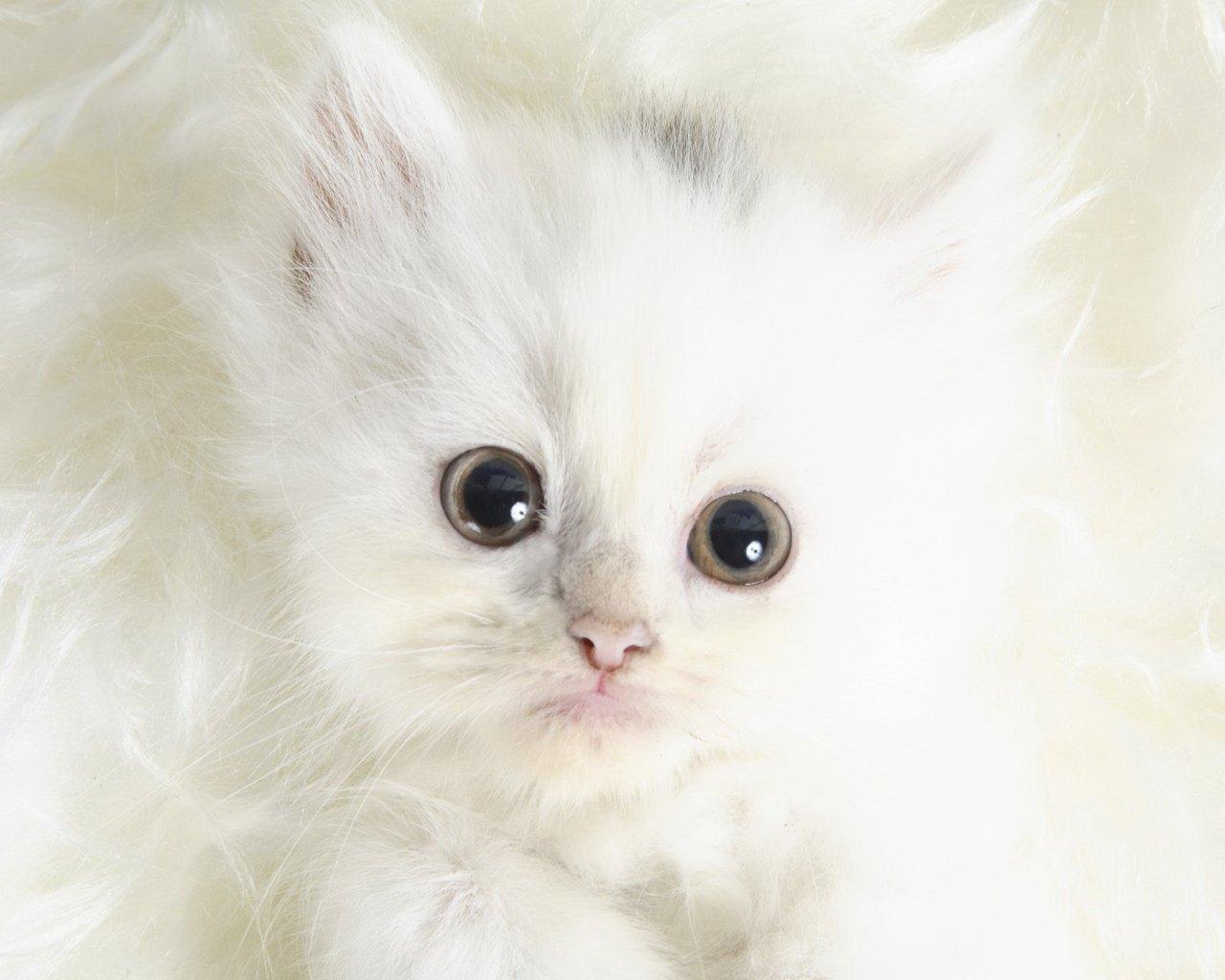 * Gatos Sin Guantes *: Gato Blanco