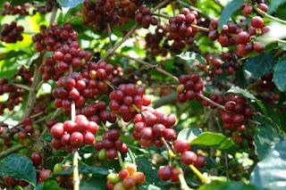 Artiku Myblogs Manfaat kopi untuk tubuh