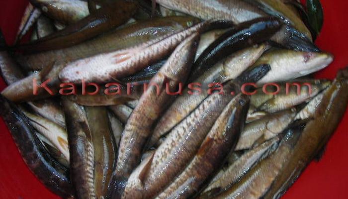 Manfaat Dan Khasiat Hebat Konsumsi Ikan Gabus Kabarnusa Com