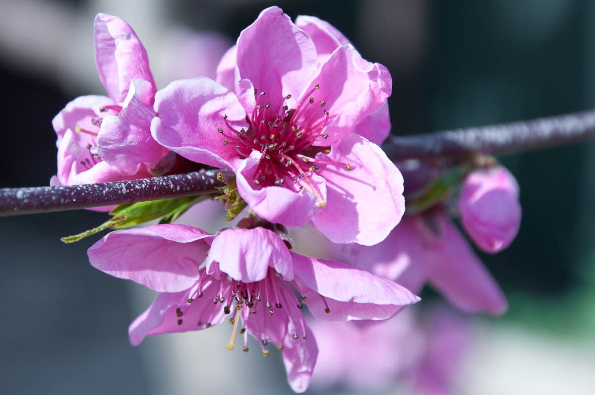 Pink peach bloom, My mother's garden, Varna, Bulgaria
