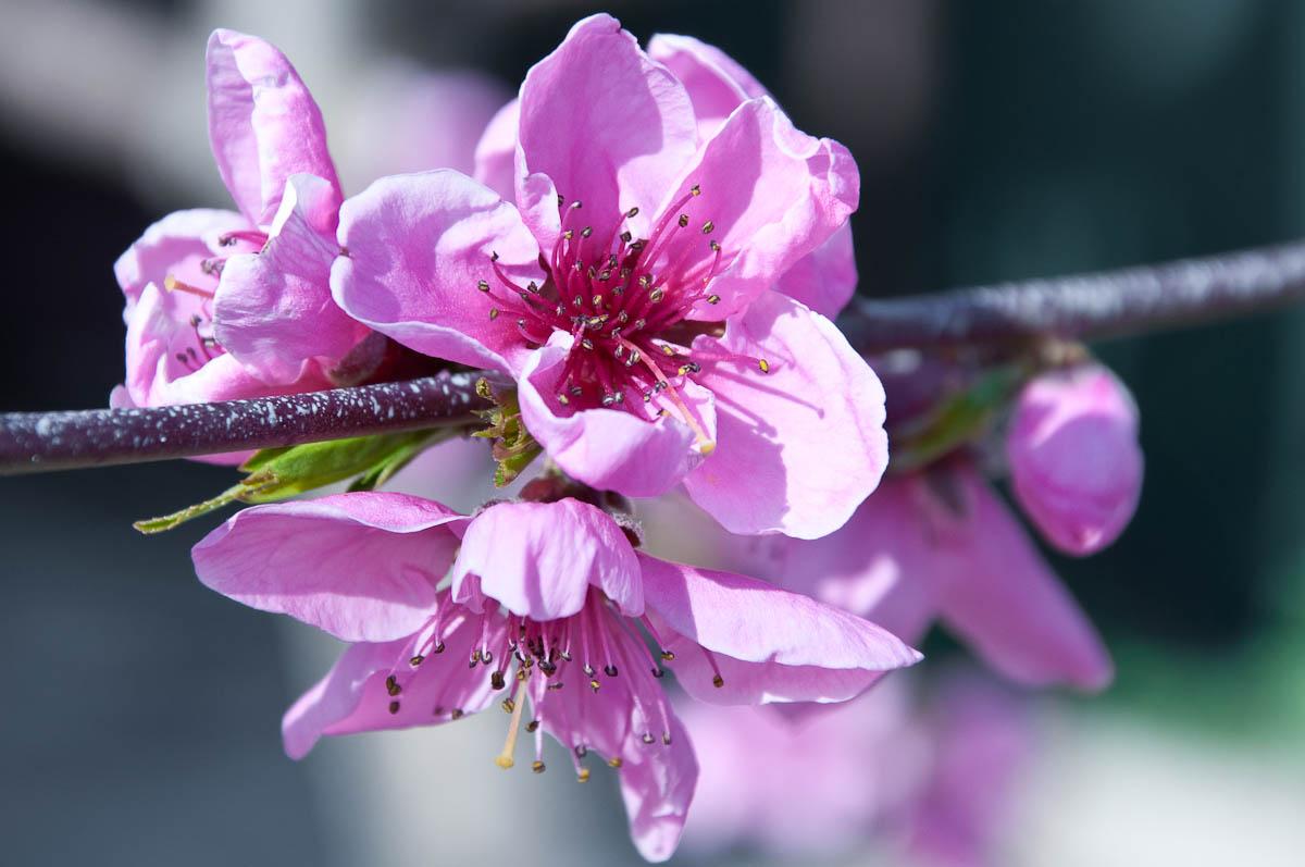 Pink peach bloom, My mother's garden, Varna, Bulgaria