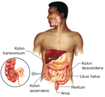 Organ-organ Pencernaan Manusia dan Fungsinya