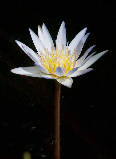 Water Lily (Nymphaea sp)
