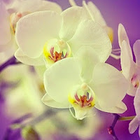 Orchids White & Purple