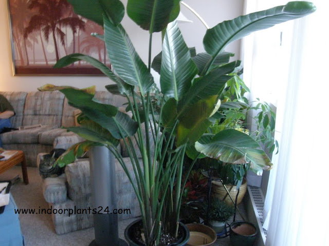 bird of paradise plant for sale guide
