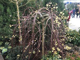 Miniature Weeping Pussy Willow (Salix caprea 'kilmarnock')
