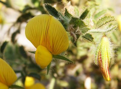 Flores amarillas de la hierba melera (Ononis natrix)