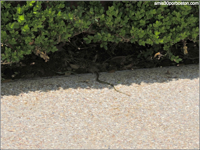 Culebra en el Jardín Japonés de Fort Worth