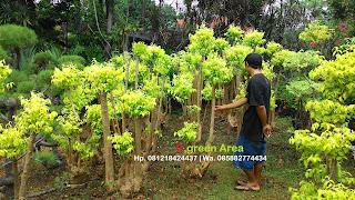 harga pembelian pohon bonsai anting putri cocok untuk halaman depan rumah