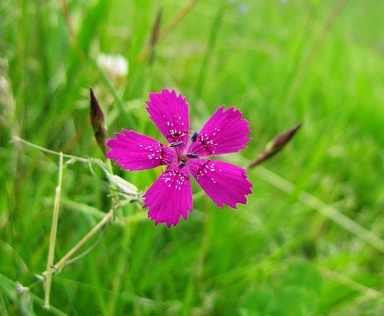 Goździk kropkowany (Dianthus deltoides L.).