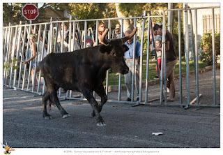 Corsa camarghese toro