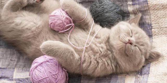 mengapa kucing mendengkur