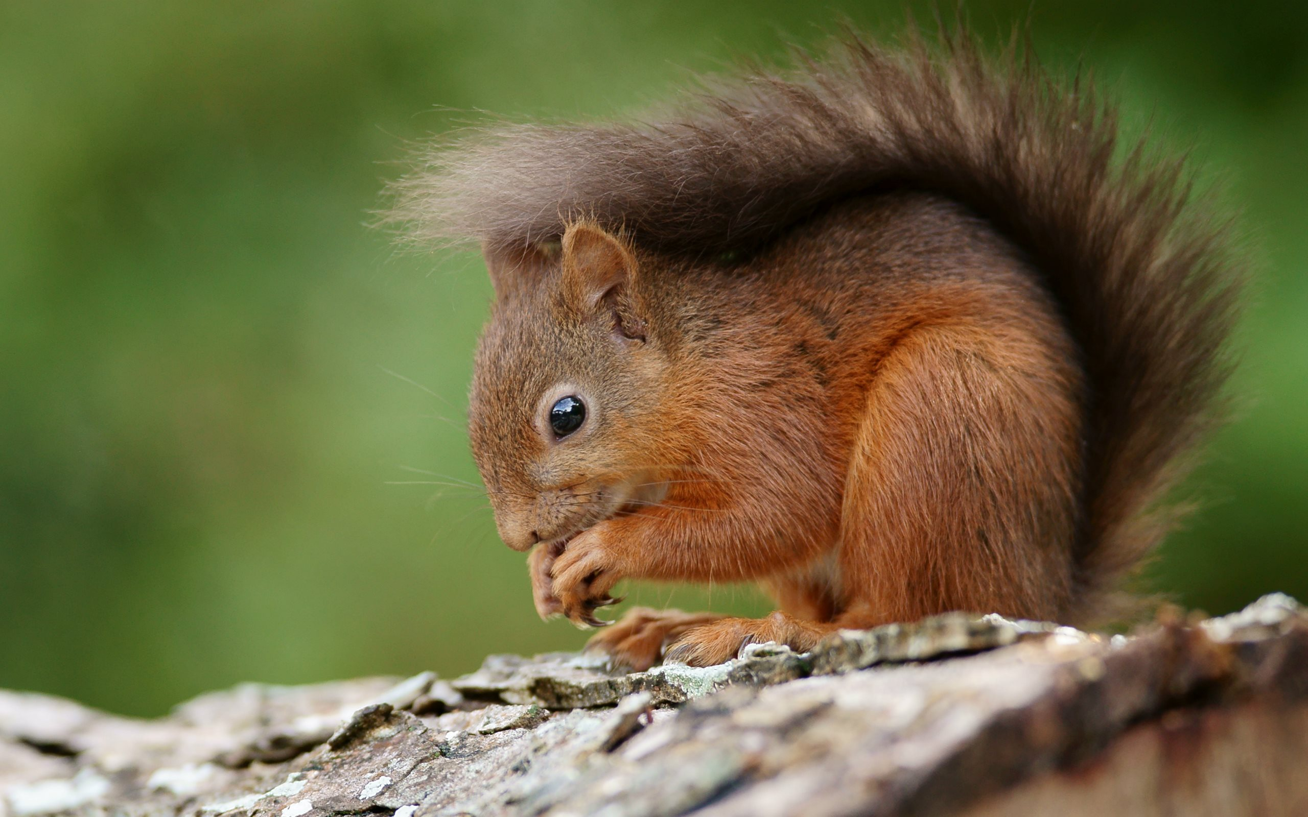 MC 44 Squirrels Wallpapers, Squirrels Full HD Pictures and Wallpapers