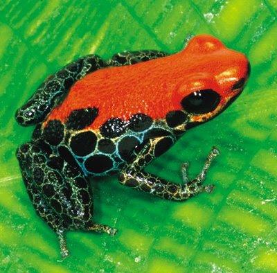 HD Animals: poison dart frog