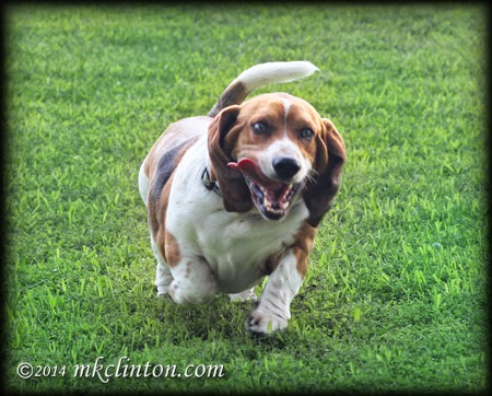 Basset Hound running with his tongue hanging out