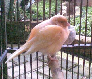 Berak Kapur Pada Burung Kenari Cara Menangani Berak Kapur Pada Burung Kenari - Solusi Penangkaran Burung Kenari