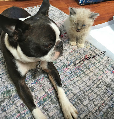 Sinead the Boston terrier and a small kitten