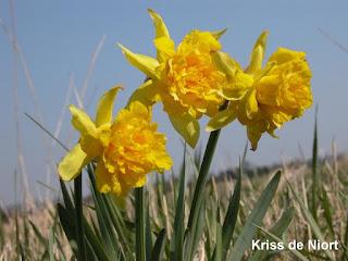 Narcisses et/ou Jonquilles