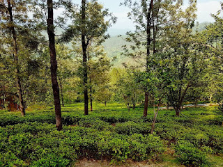 Places to visit in Kausani - Tea garden