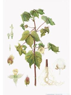 Algodão (Gossypium hirsutum)