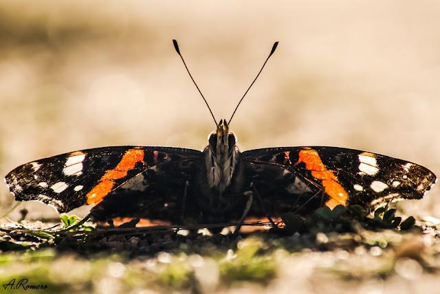 Vista frontal de Vanessa atalanta. Se aprecia el par de patas anteriores recubiertas de pelos blancos a modo de cepillo y las antenas con forma de maza características de los ninfálidos.