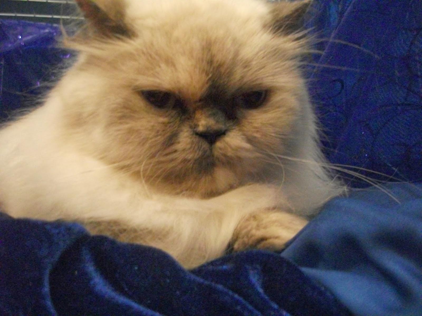 Oh Yisus Expo Cats 161 Los M 225 S Peludos Y Hermosos Gatos En