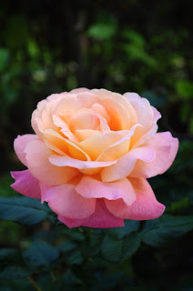 Jenis Bunga kaca piring merah