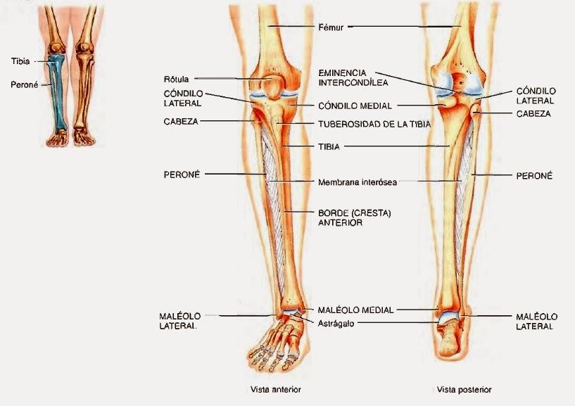Esqueleto del miembro inferior